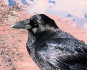 682111_the_raven_photo_by_lisa_langell.jpg