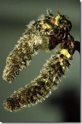 aspen bach flower remedy