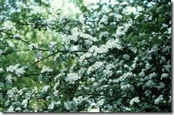 Bach flower remedy, CrabApple