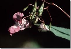 Bach Flower Remedies: Rescue Remedy