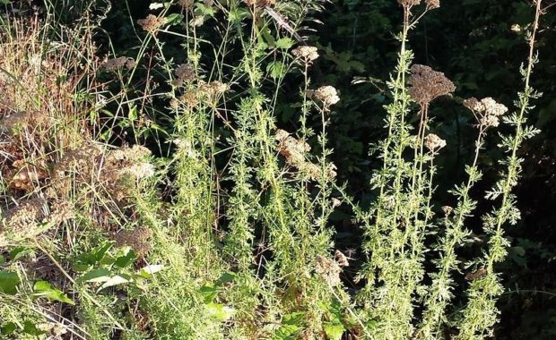 Healing Powers of Achillea Ligustica